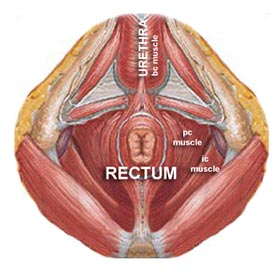 pelvic floor muscles diagram