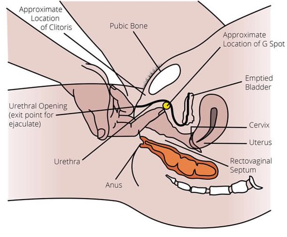 G-spot anatomical diagram