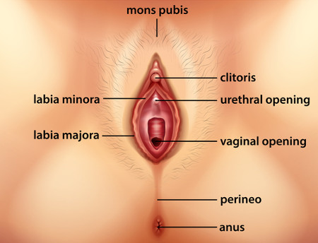 anatomy of human vagina diagram