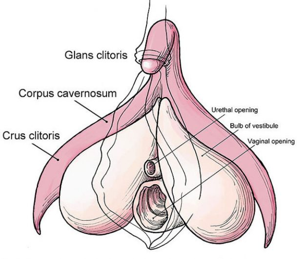 diagram showing the internal part of the clitoris